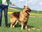 WINSTONEK-przepiękny, dorodny psiak w typie owczarka-4-5 lat - 3