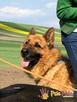 WINSTONEK-przepiękny, dorodny psiak w typie owczarka-4-5 lat - 2