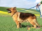 WINSTONEK-przepiękny, dorodny psiak w typie owczarka-4-5 lat - 4