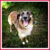 1,5roku, duży,40kg,łagodny, towarzyski,szczepiony pies LEON. - 2