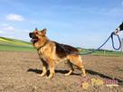 WINSTONEK-przepiękny, dorodny psiak w typie owczarka-4-5 lat - 8