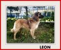 1,5roku, duży,40kg,łagodny, towarzyski,szczepiony pies LEON. - 1