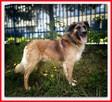 1,5roku, duży,40kg,łagodny, towarzyski,szczepiony pies LEON. - 3