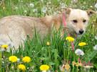 SABBIO-niewielki, kudłaty, prze-kochany kremowy psiak-1 rok- - 1
