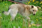 SABBIO-niewielki, kudłaty, prze-kochany kremowy psiak-1 rok- - 5