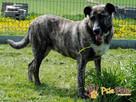 TYGRYSKA-wspaniała, duża, piękna młoda sunia-3 lata-ADOPCJA - 2