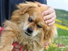 MONSTEREK-kochany kudłacz-uwielbia ludzi, bardzo lubi przytu - 3