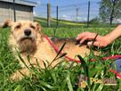 ALINKA-malutka szorstkowł.sunia-2,5 roku-spokojna, nieśmiała - 7