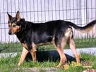 ADMIRAŁ-piękny, wspaniały psiak-nikt go nie chce, bo nie widzi - 7