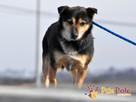 TRAFCIU-nieduży, b.uroczy psiak o wyjątkowym psim spojrzeniu - 4