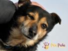 TRAFCIU-nieduży, b.uroczy psiak o wyjątkowym psim spojrzeniu - 7