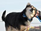 TRAFCIU-nieduży, b.uroczy psiak o wyjątkowym psim spojrzeniu - 5