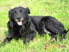 KLESZKA-piękna, miła, kochana, spokojna sunia-4-5 lat-adopcja - 8
