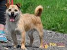 TRĄBEK-wesoły, radosny, energiczny młody psiak-mały szorścia - 2
