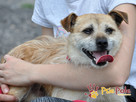 TRĄBEK-wesoły, radosny, energiczny młody psiak-mały szorścia - 3