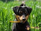 REXONEK-prześliczny, kochany, piękny wesoły psiak-szukamyDOMU - 8
