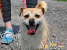 TRĄBEK-wesoły, radosny, energiczny młody psiak-mały szorścia - 1