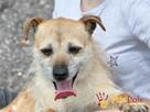 TRĄBEK-wesoły, radosny, energiczny młody psiak-mały szorścia - 5