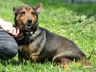 TOPUŚ-spokojny, grzeczny, miły niewielki psiak-5 lat-ADOPCJ - 1
