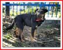 HUNTER, jagdterier mix, średni,przyjazny pies ,nieśmiały - 4