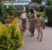 Rzeźba dekoracja Osioł ze stali corten do ogrodu