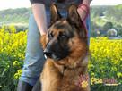 BARRY-fantastyczny pies z kiepską przeszłością-szukamy DOMU - 4