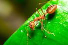 Mrówki likwidacja zwalczanie gniazd Koszalin - dezynsekcja.