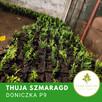 Thuja smaragd, tuja szmaragd P9 doniczka, donica, transport - 3