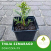 Thuja smaragd, tuja szmaragd P9 doniczka, donica, transport - 2