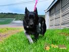 EAGLE-Szczupły pięknie umaszczony psiak szuka domu, adopcja