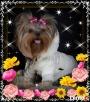 York, yorkshire terrier!!ELITARNE MICROCUDEŃKA-XXXS!Kraków-ma - 8