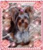 York, yorkshire terrier!!ELITARNE MICROCUDEŃKA-XXXS!Kraków-ma - 5