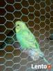 Sprzedam papużki faliste - 4