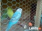 Sprzedam papużki faliste Garwolin
