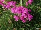 sadzonki kwiatów wieloletnich - mrozoodpornych - 5