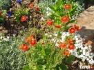 sadzonki kwiatów wieloletnich - mrozoodpornych - 4