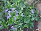 sadzonki kwiatów wieloletnich - mrozoodpornych - 3