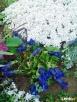 sadzonki kwiatów wieloletnich - mrozoodpornych - 2