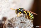 Usuwanie os, szerszeni, pszczół - GWARANCJA Rzeszów