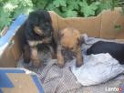szukam nowgo domu dla szczeniaka ;-) Rzeszów