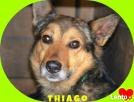 wdzięczny i karny Thiago bardzo zasługuje na dom ! Krotoszyn