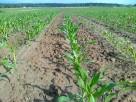 Susz ziemia rolna 36 hektarów PRZECENA! PILNE! OKAZJA!