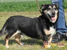 KAMYCZEK-Przemiły pies z maską na pyszczku do adopcji.Kochan - 1