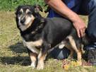KAMYCZEK-Przemiły pies z maską na pyszczku do adopcji.Kochan - 6