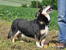 KAMYCZEK-Przemiły pies z maską na pyszczku do adopcji.Kochan - 3