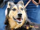ADMIRAŁ - Piękny pies w typie owczarka niemieckiego do adopc - 1