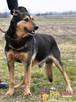 ADMIRAŁ - Piękny pies w typie owczarka niemieckiego do adopc - 8