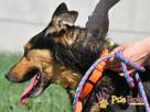 ADMIRAŁ - Piękny pies w typie owczarka niemieckiego do adopc - 5