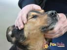 ADMIRAŁ - Piękny pies w typie owczarka niemieckiego do adopc - 6