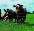 Ukraina.Krowy,bydlo opasowe 700 zl/szt.Mleko 4% cena 0,5zl/L